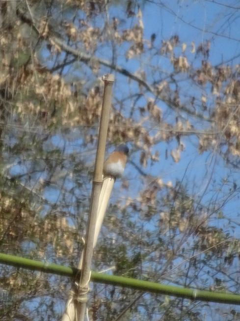 1st bluebird