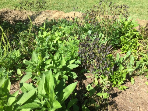 Woad gone to seed